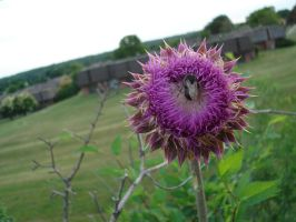 Bumble bee on purple thing by kskerr