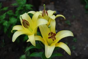Lily after rains by werwolf-lg