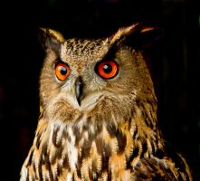 Owl With Orange Eyes by cathy001