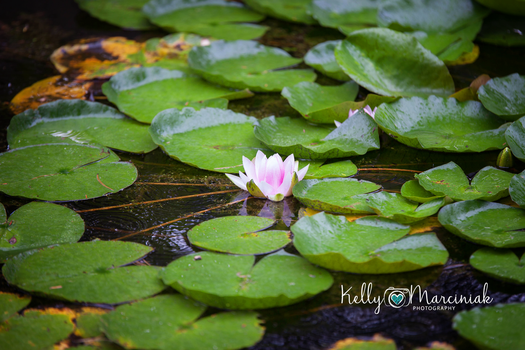 Lily Reflections by Kellyeliza