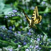 Old World Swallowtail by camabs