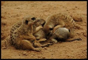 Meerkats are mere cats 1 by wildplaces