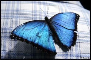 Common Blue Morpho Top by shutterbugmom