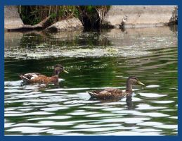 From The Boat - Ducks Swim by Sutefu-Kasaichi