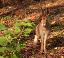 European Hare by DeingeL