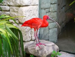 Scarlet Ibis by Passion-For-Pictures