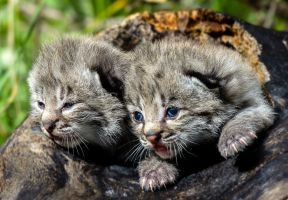 Bobcat Kittens III by White-Voodoo