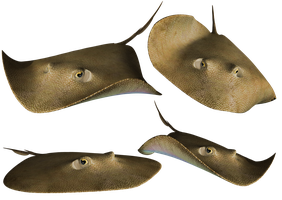 Stingray PNG Stock by Roy3D