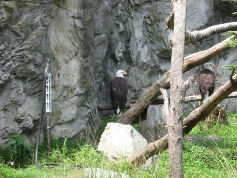 Zoo 33 - Bald Eagles by sonira-stock
