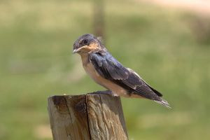 Baby Barn Swallow by dove-51