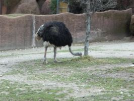 Ostriches 2 by Dandric101