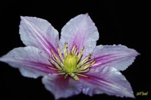 Clematis blossom1 by Yoonett
