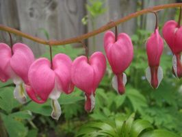 Bleeding Hearts by oXarekusandoraXo