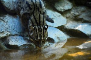 Fishing cat, fishing by NB-Photo