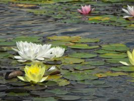 Water Lily by Morzsi