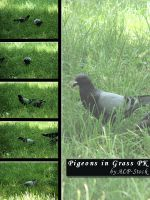 Pigeons In Grass Pk by ALP-Stock