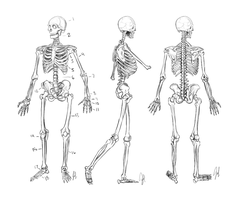 Anatomy Study: Human Skeleton by NixRose
