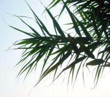 Stock Photo - Reed on light background by croicroga