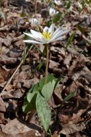 Bloodroot by ixbalam