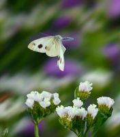 Large White Butterfly mid-flight by freudian-slips