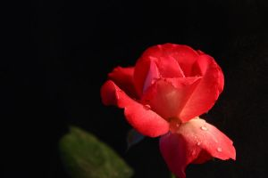 The Magic Rose 5 by firxxx
