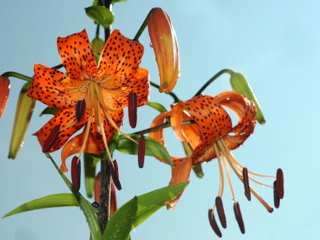 Tiger lilly 2 by LucieG-Stock