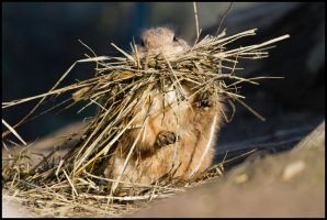 What praire dog? I'm haybale... by Wolfling01