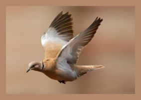 Collared Dove by Zaxstuf