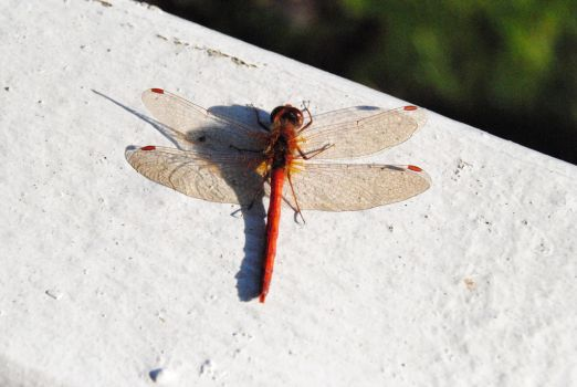 Red Dragonfly by BackwardsCrow