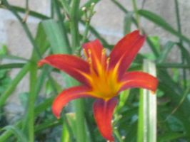 Tiger Lily 1 by moulinrougegirl77