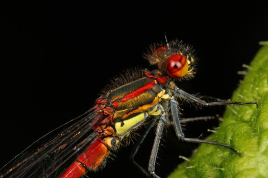 Red Damselfly 01 by s-kmp