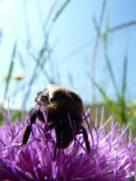 bumblebee close up by PiccolaGhI