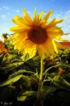 another sunflower by Yair-Leibovich