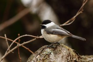 Hello Chickadee by natureguy