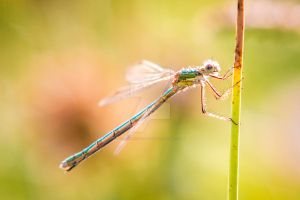 Damselfly - Sunlit by CryogenicCactus