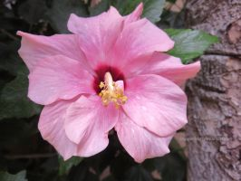 Pink Hibiscus by ShipperTrish