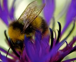bumble bee on flower. by LubelleCreativeSpark