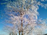 Ice Covered Trees 7 by DerpyDash64