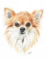 Chihuahua portrait in colored pencil by Tinesdierportretten