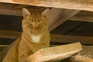 Tiger in Barn by DisappearinEbony