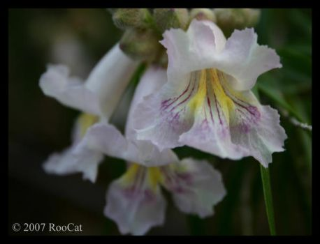 Desert Willow Flowers by RooCat