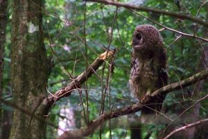 Barred Owl by uncreativescreenname