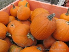 Pumpkins by justarus
