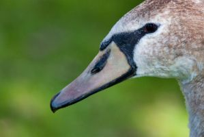 Juvenile Mute Swan by TomFawls