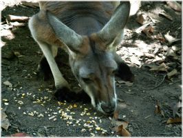 An eating kangaroo by angelwillz