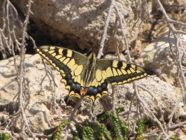 Lampedusian Swallowtail by Faunamelitensis