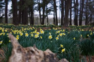 Daffodil Forest_0189 by silverspoken2005