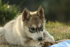 Timber - Blue and Brown Eyes by greensh