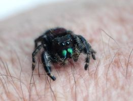 Tiny Salticidae....on arm by duggiehoo