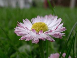 daisy by dest-stock